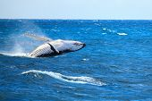 stock photo of hump  - Hump back Whale breaching in the ocean - JPG
