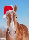 stock photo of horse wearing santa hat  - Blonde Belgian draft horse wearing a Santa hat - JPG
