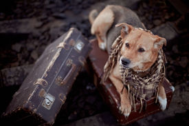 stock photo of dog-house  - Dog on rails with suitcases. The dog looks for the house. The dog waits for the owner. The lost dog. Mongrel on the road. Dog on rails. Dog with suitcases. Traveler. Vagrant dog. Tramp. ** Note: Shallow depth of field - JPG
