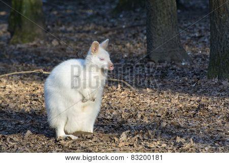 Albino Bennett's Wallaby (macropus Rufogriseus)