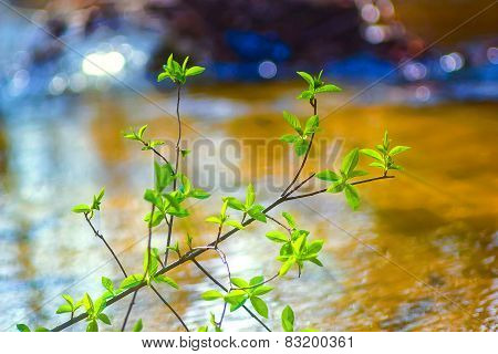 elm tree branch over water in spring