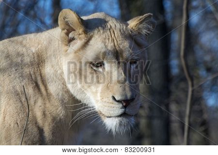 White Lioness (panthera Leo Krugeri)
