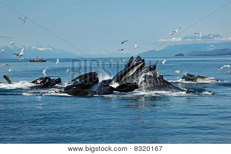 Humpback Bubble Net Feeding