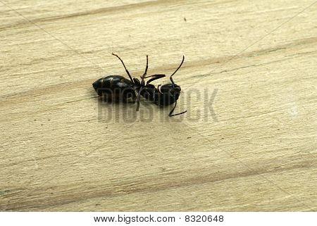 Dead Carpenter Ant