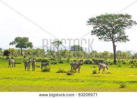 Zebra's Tribe In The Green Grass