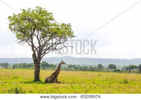 Giraffe Lays Under The Tree In Savanna