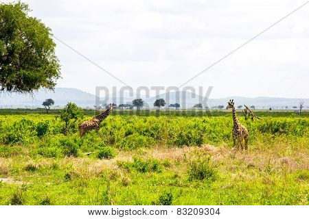 Two Giraffes In The Grass