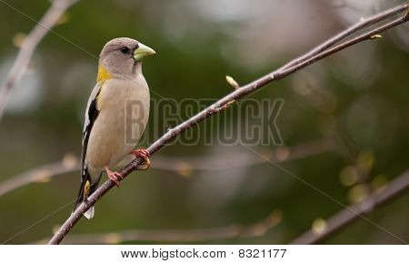 A Female Evening Grosbeak