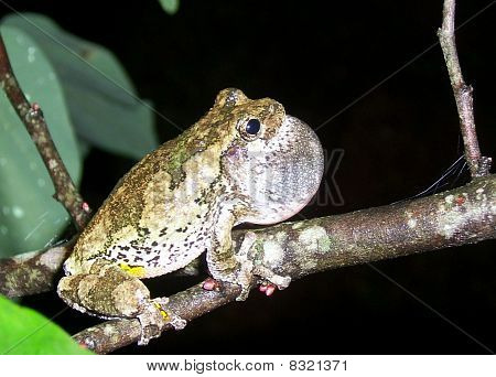 Cope's Gray Tree Frog