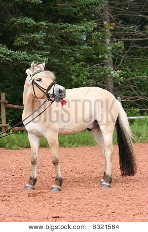 Fjord Horse Whinny