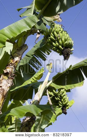 Banana's Growing