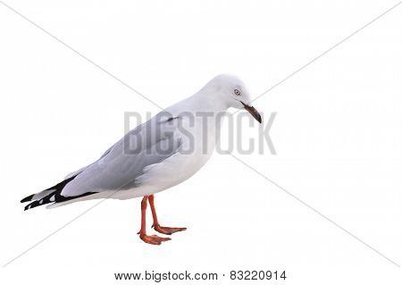 closeup of a red billed Gull, a species native to New Zealand, isolated on white