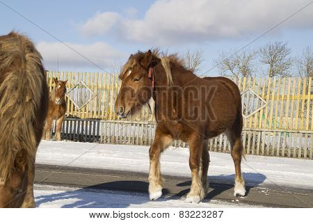 Winter. Young foals pass paved road