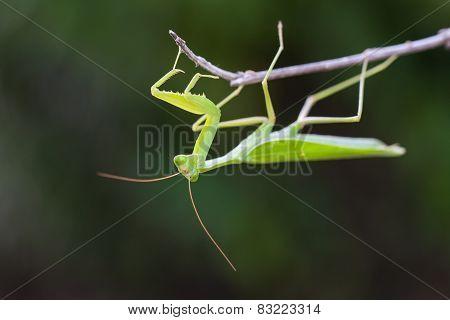 Praying Mantis against green background