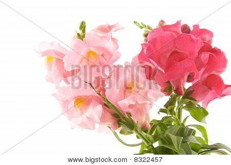 Summer Flowers Snapdragon