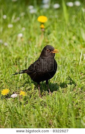 Curious blackbird
