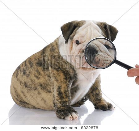 Examining Face Of Dog