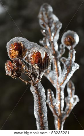 Crape Myrtle In Ice