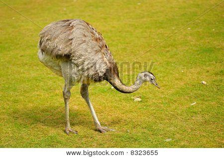 Ostrich on grass