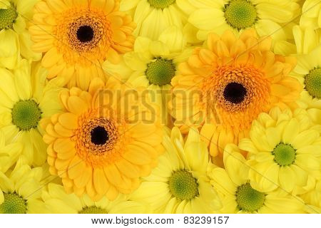 Flowers Chrysanthemums Background In Spring Or Mothers Day