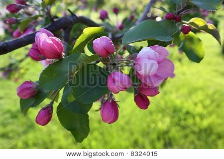 Flowering  Apple-tree