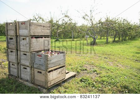A photo of freshly picked red apples in a wooden crate.
