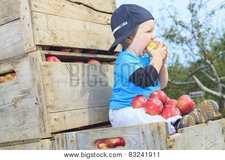 A Cute little boy in the garden and picking apple