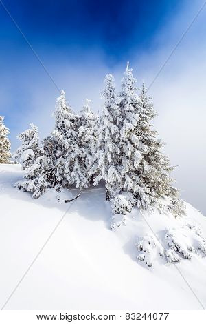 Pine Forest Covered In Snow