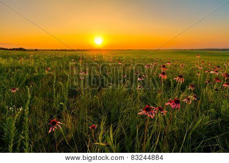 Sunset In A Prairie Field Of Purple Coneflowers