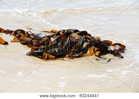 Large Bundle Of Kelp (seaweeds)