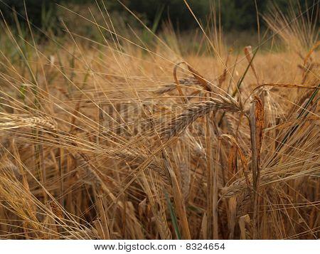 Barley grain ears