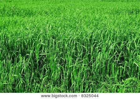 Tall Grass Background