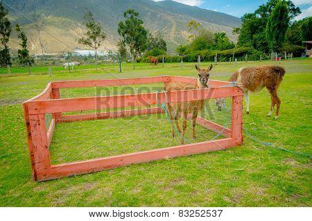 cute llama behind a fence