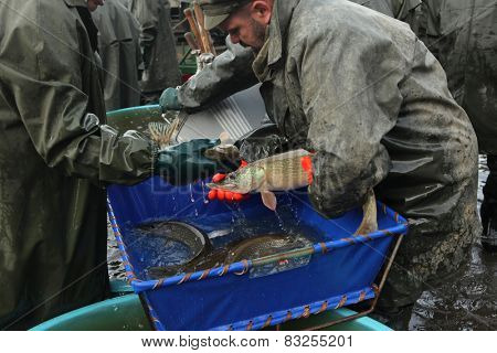 HORUSICE, CZECH REPUBLIC - OCTOBER 21, 2013: Fishermen sort a fresh catch of pike (Esox lucius) during a traditional autumn mass fishing at the Horusicky Pond in South Bohemia, Czech Republic.