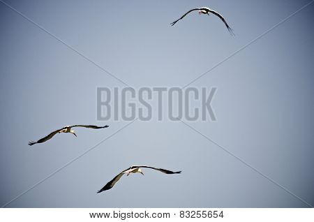 Storks flying with blue and clear sky
