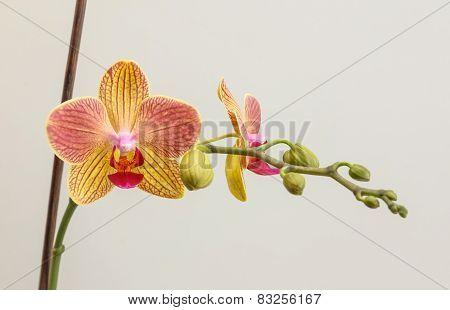 Phalaenopsis With Stick