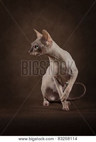 Don Sphinx Cat
