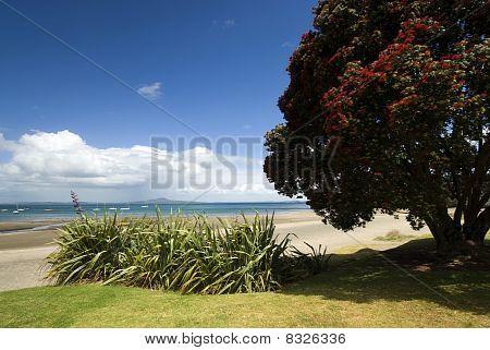 Pohutukawa tree on Auckland's north shore