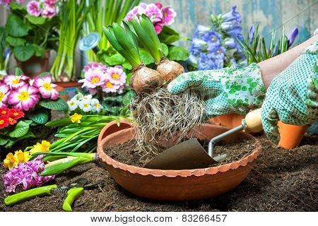 Gardener planting flowers in pot with dirt or soil at back yard