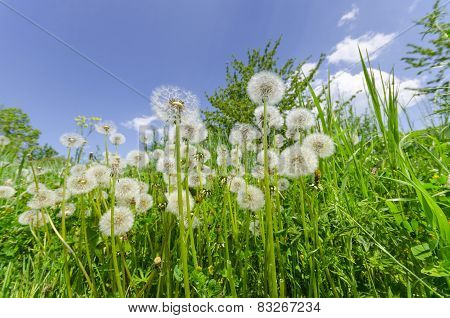 Dandelions in the green grass and blue sky