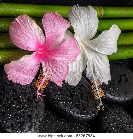 Spa Concept Of White, Pink Hibiscus Flowers  And Natural Bamboo On Zen Basalt Stones With Drops, Clo