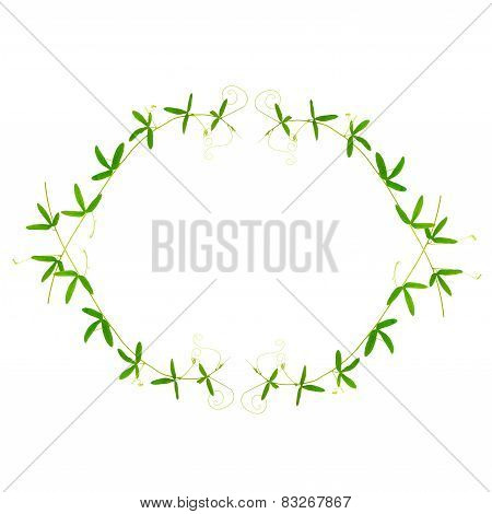 Border Of Green Branches Passionflower With Tendrils Is Isolated On White Background, Closeup