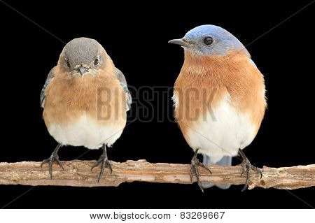 Pair Of Eastern Bluebird On Black