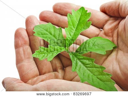 Hands holding sapling tree oak isolated on white background