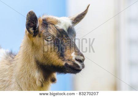 little goat