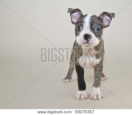 Cute Boston Terrier Puppy