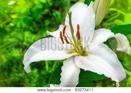 white lily flower in a garden