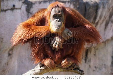 Perched Orangutan