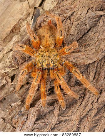 Usambara Orange Baboon Tarantula.