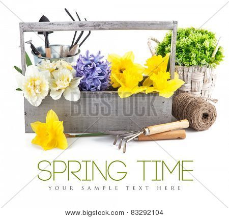 Spring flowers in wooden box with garden tools. Isolated on white background